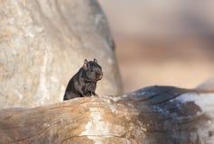 Melanistic Black chipmunk Royalty Free Stock Image