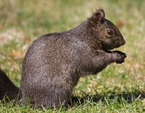 Melanistic Eastern Gray Squirrel Stock Photo