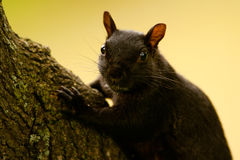 Melanistic Eastern Gray Squirrel (Sciurus carolinensis) Royalty Free Stock Photos