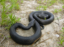 Melanistic Grass Snake Royalty Free Stock Photography