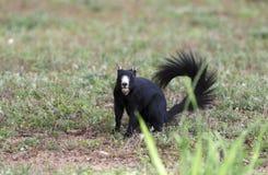 Melanistic Gray Squirrel del este negro, Watkinsville, Georgia, los E.E.U.U. Foto de archivo libre de regalías