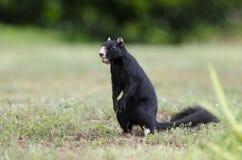 Melanistic svarta östliga Gray Squirrel, Watkinsville, Georgia, USA Fotografering för Bildbyråer