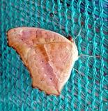 Melanitis Leda - Pospolity Evening Brown motyl Obraz Stock