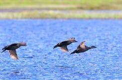 Melanitta nigra. Duck  black scoter in flight over lake Stock Photography