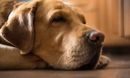 Melankoliska vuxna guld- bruna labrador sovande på det hem- köket Arkivfoton