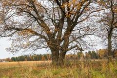 Melankoliskt höstlandskap Nästan avlövad gammal ek på det blekna fältet i en molnig afton fotografering för bildbyråer