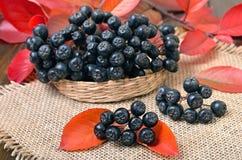 Melanocarpa Aronia (μαύρος chokeberry) Στοκ Εικόνες