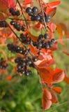 Melanocarpa d'Aronia photos libres de droits