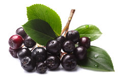 Melanocarpa de Aronia & x28; chokeberry& preto x29; , trajetos Fotografia de Stock Royalty Free