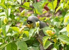 Melanocephala ruidoso de Manorina do pássaro do mineiro fotografia de stock