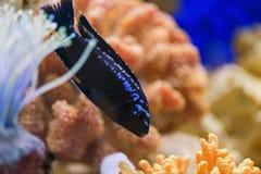 Melanochromis johannii, Pseudotropheus johannii Rybi Johana Melanochromis pływa w przejrzystym morskim akwarium zdjęcie royalty free