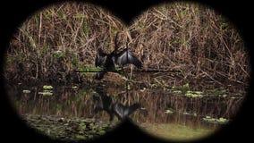 Melanogaster oriental del anhinga del darter, aka darter indio, a través prismáticos vistos snakebird Observación de pájaros en l