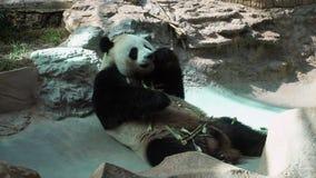 Melanoleuca Ailuropoda гигантской панды есть бамбук в зоопарке акции видеоматериалы