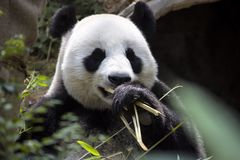 Melanoleuca Ailuropoda des großen Pandas, das den Bambuszoo Singapur isst Lizenzfreie Stockbilder