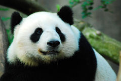 Melanoleuca de Panda Ailuropoda del gigante Fotografía de archivo