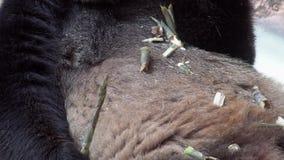 Melanoleuca del Ailuropoda de la panda gigante que come el bambú Ascendente cercano del vientre almacen de metraje de vídeo