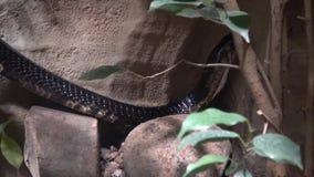 Melanoleuca del Naja della cobra della foresta su un ramo Animale pericoloso archivi video