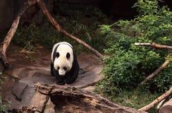 Melanoleuca do Ailuropoda do urso de panda gigante Imagem de Stock