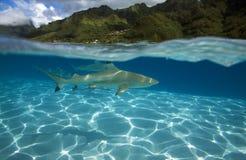 Melanoptérus АКУЛЫ/carcharhinus РИФА BLACKTIP Стоковая Фотография RF