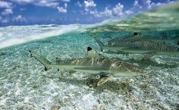 Melanoptérus АКУЛЫ/carcharhinus РИФА BLACKTIP Стоковое Изображение RF