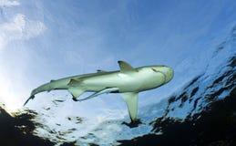 Melanoptérus РИФА SHARK/carcharhinus BLAC Стоковое Изображение RF