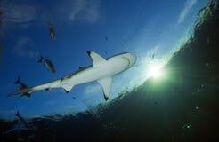 Melanoptérus РИФА SHARK/carcharhinus BLACKTIP Стоковые Фотографии RF