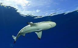 Melanoptérus РИФА SHARK/carcharhinus BLACKTIP Стоковая Фотография