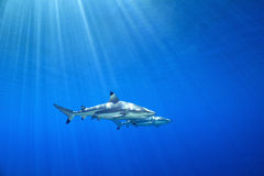 Melanoptérus РИФА SHARK/carcharhinus BLACKTIP Стоковое фото RF