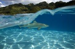 Melanoptérus carcharhinus АКУЛЫ РИФА BLACKTIP Стоковое фото RF