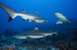 Melanoptérus carcharhinus АКУЛЫ РИФА BLACKTIP Стоковые Изображения RF