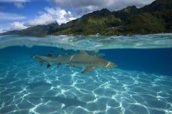 Melanoptérus carcharhinus АКУЛЫ РИФА BLACKTIP Стоковая Фотография RF
