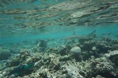 Melanopterus del Carcharhinus dello squalo della scogliera di Blacktip fotografie stock