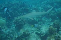 Melanopterus del Carcharhinus del tiburón del filón de Blacktip fotografía de archivo