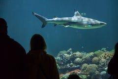Melanopterus do Carcharhinus do tubarão do recife de Blacktip Fotos de Stock