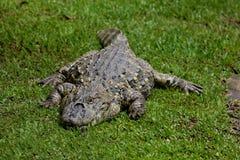 Melanosuchus niger Royalty Free Stock Image