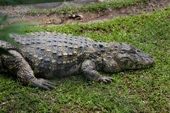 Melanosuchus niger profile Stock Images