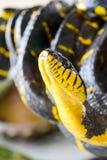 Melanota congregado del dendrophila de Boiga de la serpiente del mangle fotografía de archivo libre de regalías