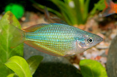 Melanotaenia fish Royalty Free Stock Photos