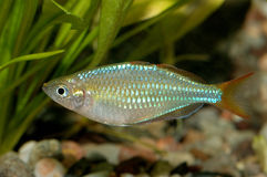 Melanotaenia fish Royalty Free Stock Photography