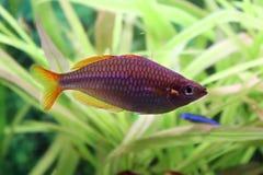 Melanotaenia praecox. Middle size aquarium fish with color of neon Stock Images