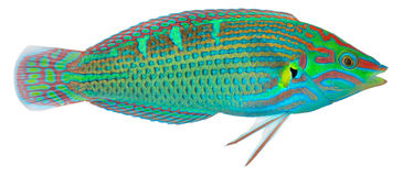 Melanurus Wrasse Royalty Free Stock Photography