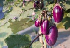 Melanzana che cresce nella pianta del campo pronta per l'azienda agricola di agricoltura del raccolto Immagine Stock