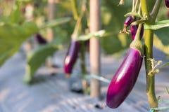 Melanzana che cresce nella pianta del campo pronta per l'azienda agricola di agricoltura del raccolto Immagini Stock