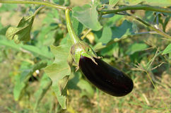 Melanzana della melanzana che cresce nel campo Fotografia Stock