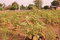 Melanzana nel campo di agricoltura Immagini Stock Libere da Diritti