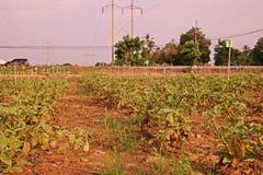 Melanzana nel campo di agricoltura Fotografia Stock Libera da Diritti