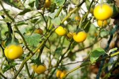 Melanzane gialle in giardino immagini stock libere da diritti