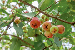 Melarose sull'albero in frutteto Fotografie Stock