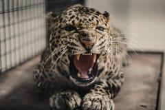 Melas de pardus de Panthera Images libres de droits