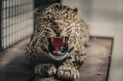 Melas de pardus de Panthera Photos stock